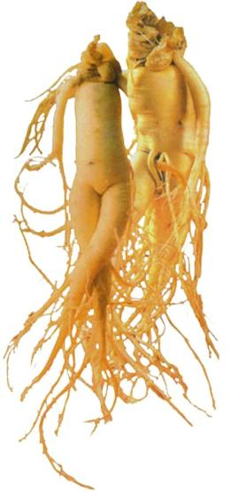 Roots Korean Red Ginseng Root Human 260x555
